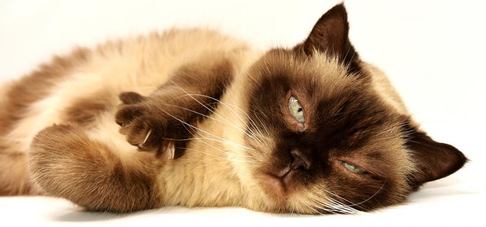 Czy koty są zagrożeniem dla zdrowia domowników?