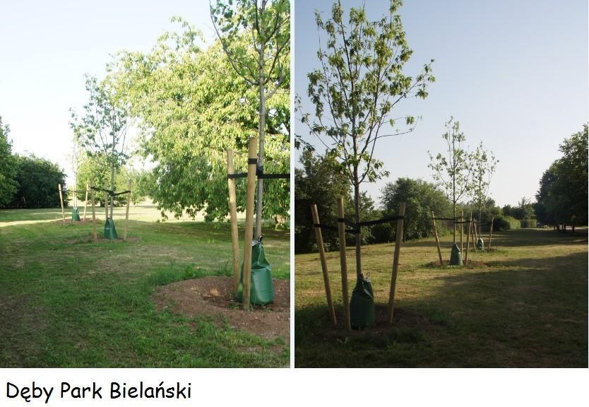 Nawadniamy młode drzewka, by nie uschły podczas upałów