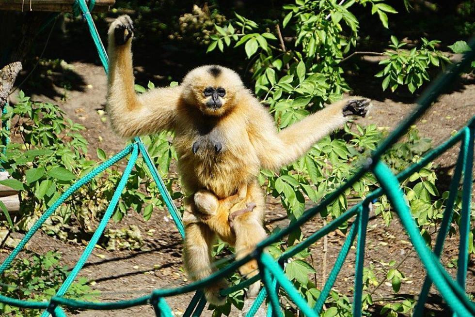Kolejna sensacja wewrocławskim zoo - narodziny gibona białopoliczkowgo (czarnego)