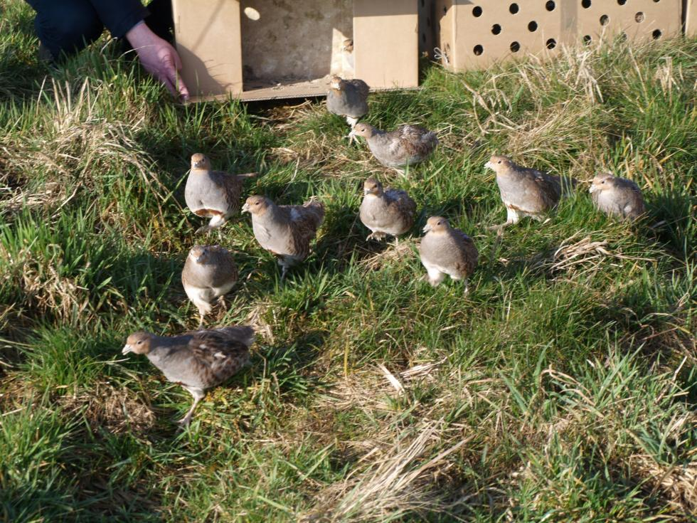 Akcja ratowania kuropatw: 700 ptaków wypuszczonych na pola