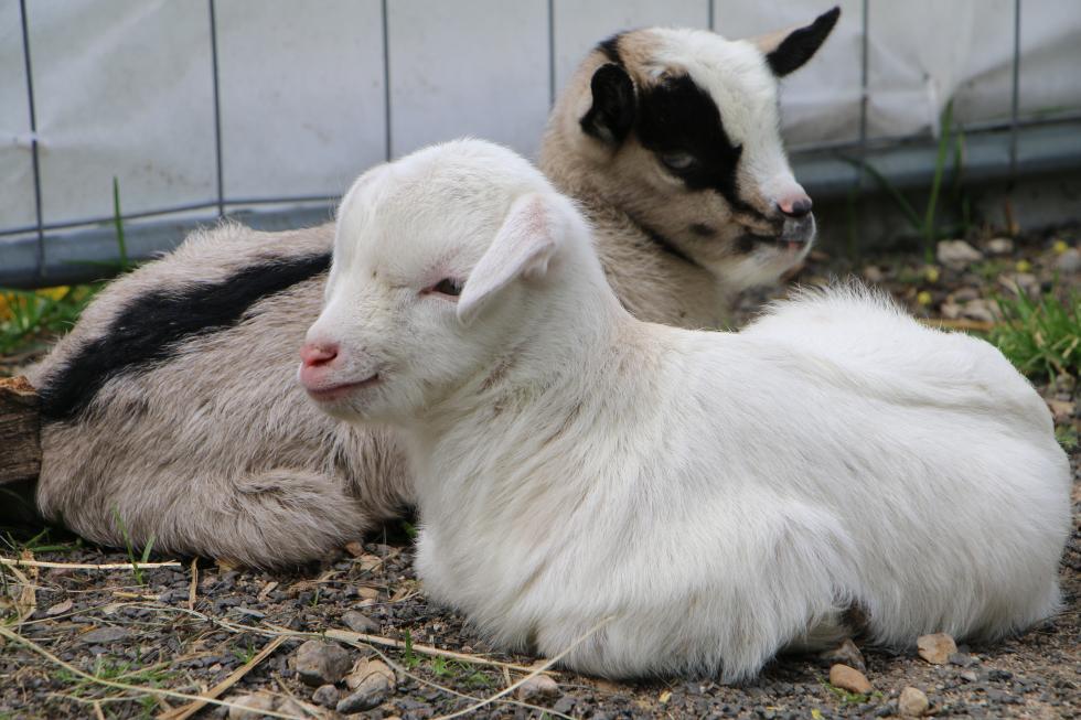 W mini zoo na świat przyszła para kózek. Wybierz dla nich imiona iwygraj nagrodę
